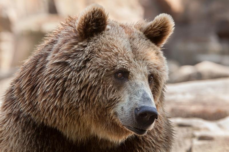 Мнение: Почему этот год не станет новым «годом медведя»